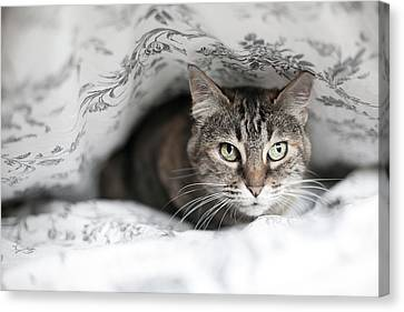 Cat Under In Blankets Canvas Print by Image taken by Mayte Torres