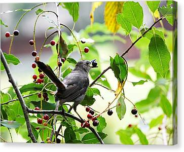 Canvas Print featuring the photograph Catbird With Berry - Rear View by Mary McAvoy