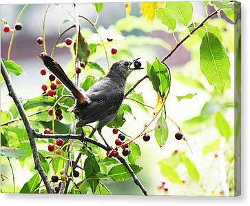 Catbird With Berry II Canvas Print by Mary McAvoy