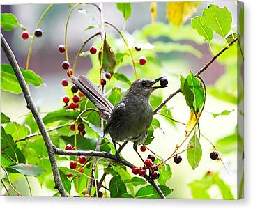 Catbird With Berry IIi Canvas Print by Mary McAvoy