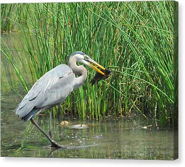Catch Of The Day Canvas Print by Paul Ward