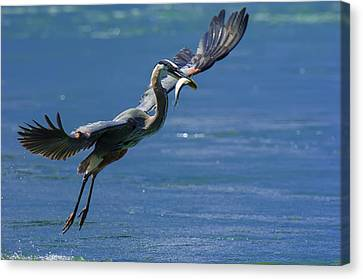 Great Blue Heron Canvas Print - Catch Of The Day by Sebastian Musial