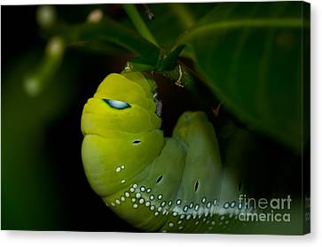 Caterpillar  Canvas Print by Venura Herath