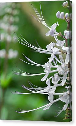 Cat's Whiskers Flowers Canvas Print by Wendy White