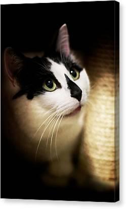 Catsablanca Canvas Print by JM Photography