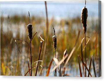 Cattails Canvas Print by Brady D Hebert