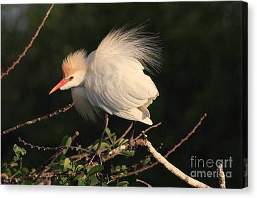 Cattle Egret Display Canvas Print by Jennifer Zelik
