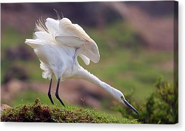Punjab Canvas Print - Cattle Egret by Mcb Bank Bhalwal