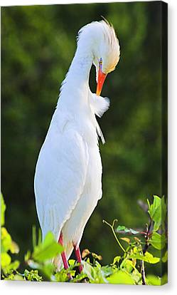 Canvas Print featuring the photograph Cattle Egret- St Lucia by Chester Williams