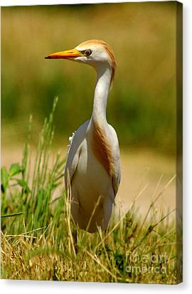 Cattle Egret With Closed Eyelid Canvas Print by Robert Frederick