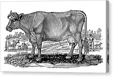 Cattle Canvas Print by Granger
