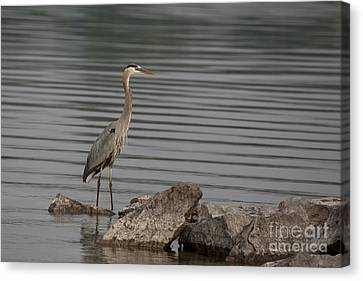 Canvas Print featuring the photograph Cautious by Eunice Gibb