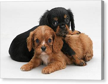 Cavalier King Charles Spaniel Puppies Canvas Print by Jane Burton