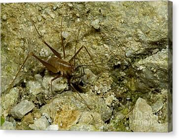 Cave Cricket Canvas Print
