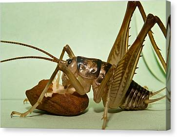 Cave Cricket Eating An Almond 3 Canvas Print by Douglas Barnett