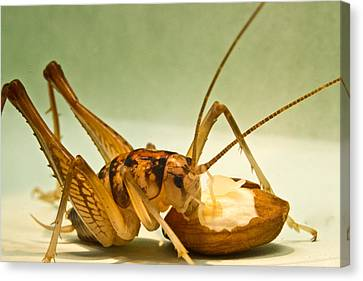 Cave Cricket Eating An Almond 7 Canvas Print by Douglas Barnett