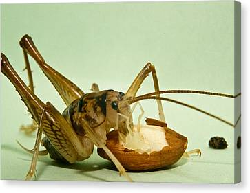 Cave Cricket Feeding On Almond 8 Canvas Print by Douglas Barnett