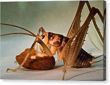 Cave Cricket Feeding On Almond Canvas Print by Douglas Barnett
