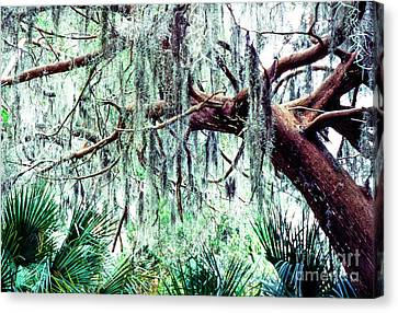 Cedar Draped In Spanish Moss Canvas Print by Thomas R Fletcher