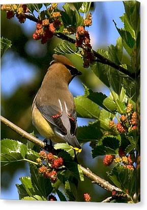 Canvas Print featuring the photograph Cedar Waxwing Dsb056 by Gerry Gantt