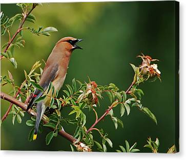 Canvas Print featuring the photograph Cedar Waxwing by Jim Boardman