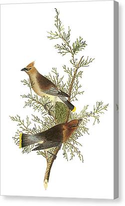 Cedar Waxwing Canvas Print by John James Audubon