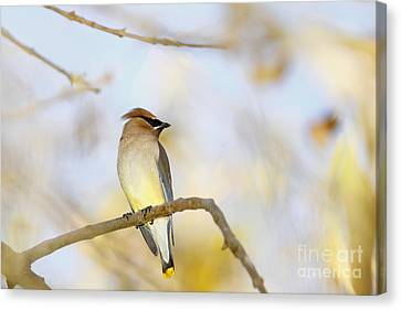 Cedar Waxwing On Yellow And Blue Canvas Print