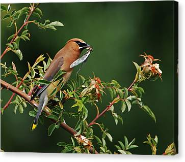 Canvas Print featuring the photograph Cedar Waxwing With A Bug by Jim Boardman
