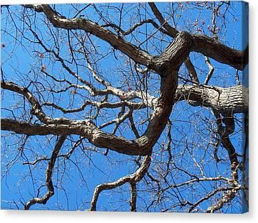Centenarian Oak Canvas Print