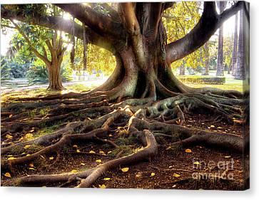 Centenarian Tree Canvas Print by Carlos Caetano