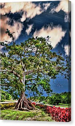 Centuries Old Ceibas Tree Canvas Print by Frank Feliciano