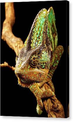 Chameleon Canvas Print by MarkBridger