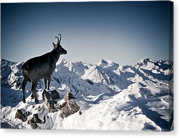 Chamois Watching Over Austria Canvas Print by RICOWde