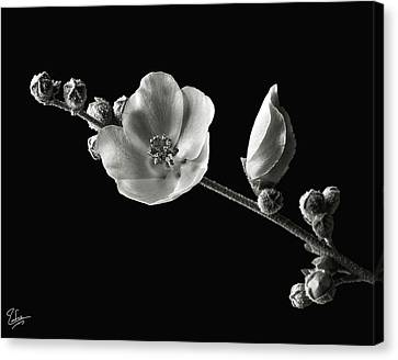 Canvas Print featuring the photograph Chaparral Mallow In Black And White by Endre Balogh
