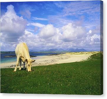 Charolais Cow, Mannin Bay, Co Galway Canvas Print