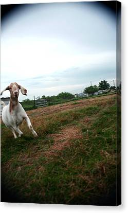 Canvas Print featuring the photograph Chased By A Crazy Goat by Lon Casler Bixby