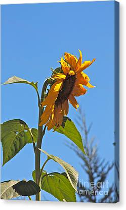 Cheer Up Sunflower  Canvas Print by Lori Leigh