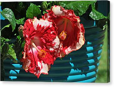 Cheery Cherry Appaloosa Canvas Print by Lynn Bauer