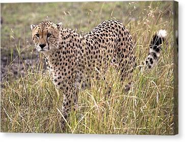 Cheetah Acinonyx Jubatus, Masai Mara Canvas Print by Chris Upton