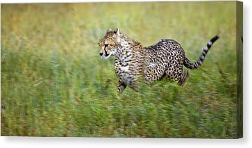 Cheetah Acinonyx Jubatus, Running Canvas Print by Carson Ganci