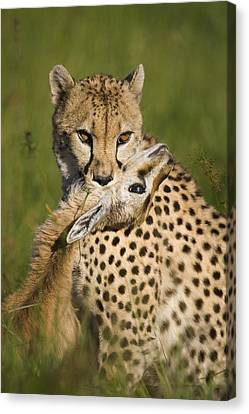 Cheetah Acinonyx Jubatus With Its Kill Canvas Print by Suzi Eszterhas