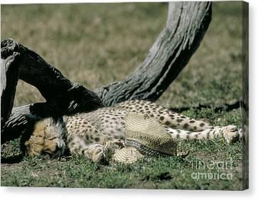 Cheetah Cub Sleeping And Guarding Hat Canvas Print by Greg Dimijian