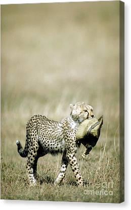 Cheetah Cub With Hat Canvas Print by Greg Dimijian
