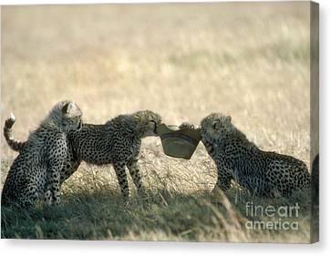 Cheetah Cubs Play With Hat Canvas Print by Greg Dimijian