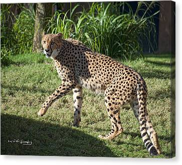 Cheetah Looking Canvas Print