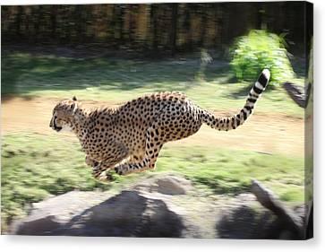 Cheetah Sprint Canvas Print by Joseph G Holland