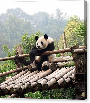 Chengdu Panda Canvas Print by Carla Parris