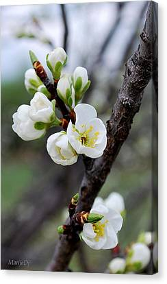 Canvas Print featuring the photograph Cherries To Be... by Marija Djedovic