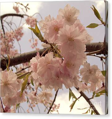 Canvas Print featuring the photograph Cherry Blossom 2 by Andrea Anderegg