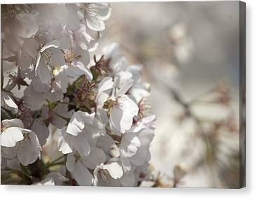 Canvas Print featuring the photograph Cherry Blossom 2 by Lisa Missenda